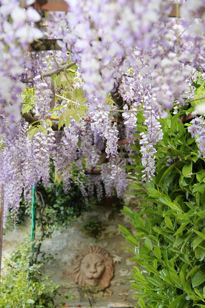 giardino - glicine